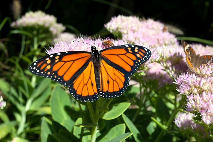 borboletas-monarcas-migracao