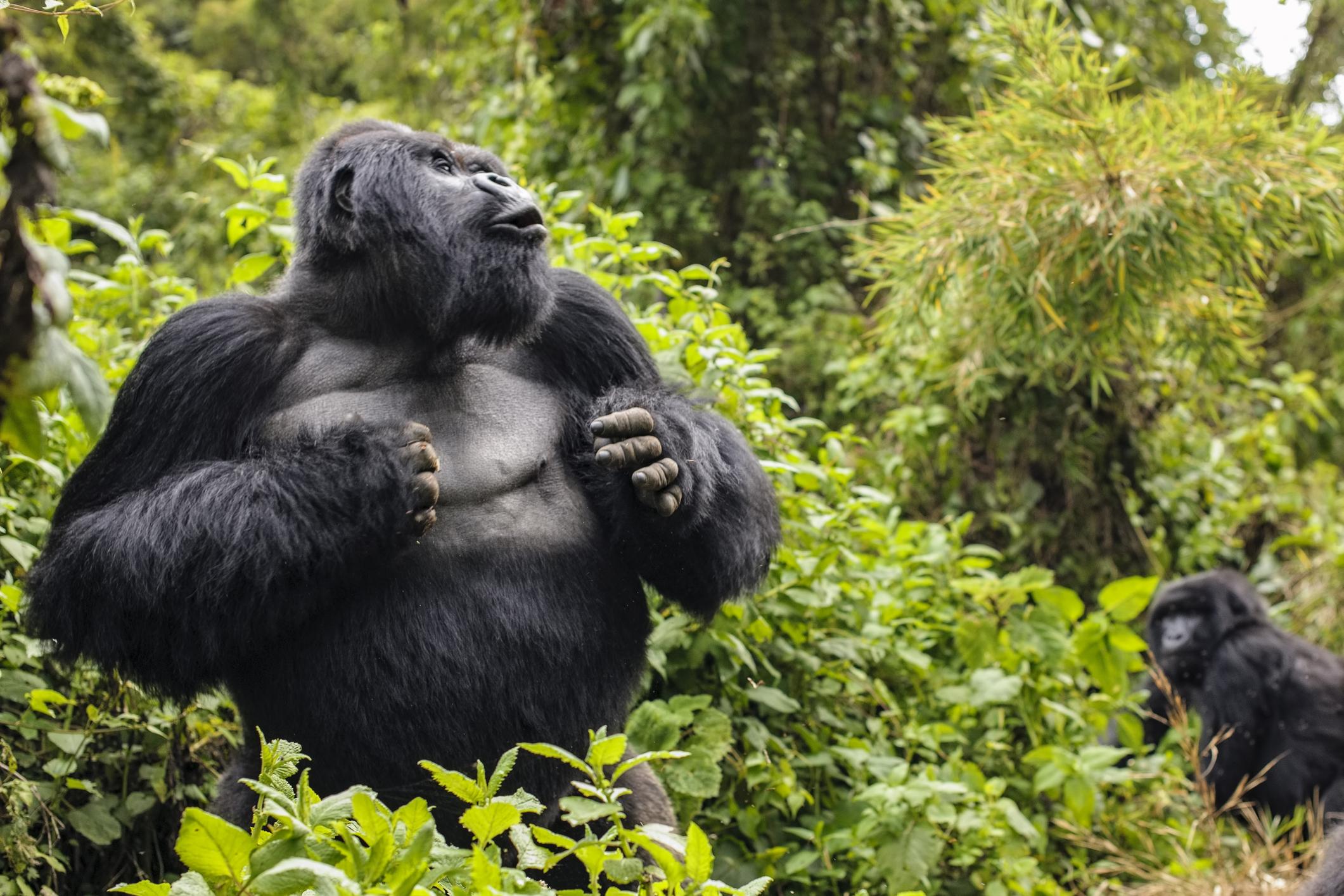 Silverback Mountain Gorilla named Guhonda (Gorilla gorilla beringei) beating his chest, Parc National des Volcans, Rwanda, Africa