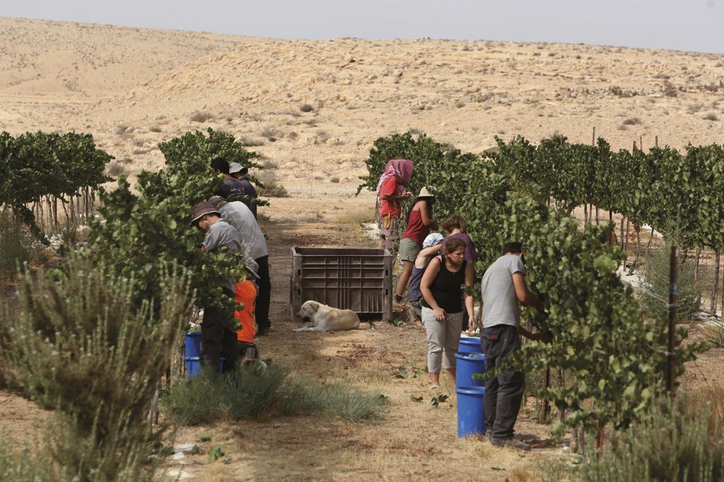 Colheita de uvas no deserto de Neguev, sul de Israel: apesar dos recursos hídricos limitados, o país é hoje exportador de frutas.