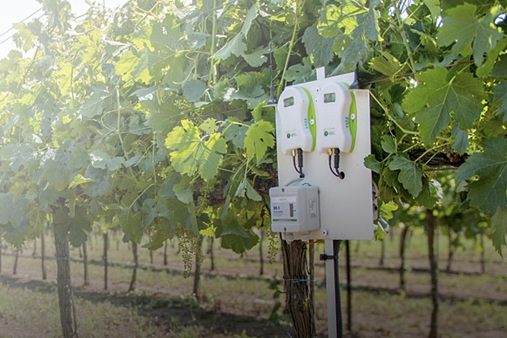 Sensores da SupPlant, na cor branca, entre folhas de uma plantação de uva