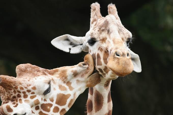 girafas gay