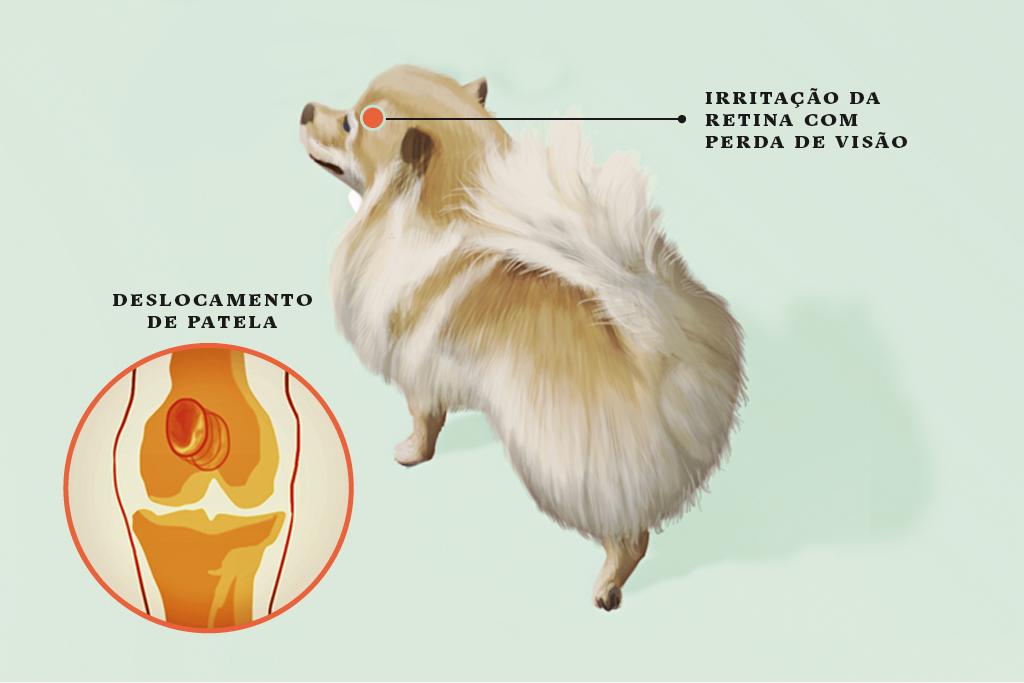 <strong>Lulu da Pomerânia</strong> • O lulu é o campeão em deslocamento de patela (a rótula). Cerca de 40% dos cães têm uma patela que vive saindo do lugar, o que provoca dor e artrite. Também é comum a degeneração progressiva da retina, que leva à cegueira.