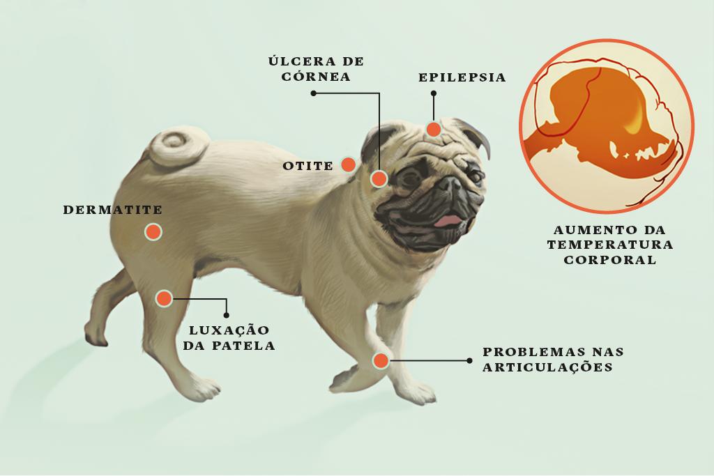 <strong>Pug</strong> • Como seu focinho foi selecionado para ser muito curto, o ar não tem tempo de resfriar antes de chegar aos pulmões. Isso provoca o aumento da temperatura corporal. Quando o cão faz atividades físicas intensas em dias muito quentes, a crise pode ser fatal.