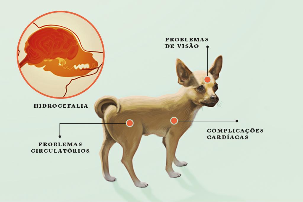 <strong>Chihuahua</strong> • A pequena estatura está associada à hidrocefalia – o aumento dos fluidos no cérebro. O volume elevado aumenta a pressão no cérebro. Em alguns casos, a pressão pode causar dor, perda das funções cerebrais e morte.