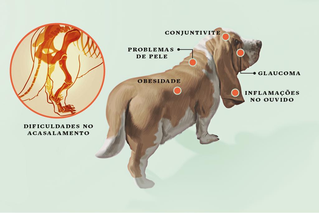 <strong>Basset hound</strong> • Os germes aproveitam suas longas orelhas para entrar no canal auditivo e causar inflamações. Além disso, o macho sofre: como é baixinho, comprido e pesado, não consegue montar a fêmea – e precisa de uma mãozinha do dono.