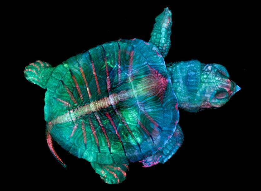 """<span style=""""font-weight:400;"""">Para chegar à foto que ganhou a medalha de ouro, as autoras uniram duas paixões: arte e ciência. Essa tartaruga, na verdade, é um feto com menos de 3 centímetros de comprimento e largura. Sua representação final é fruto de uma compilação de centenas de fotos unidas e combinadas a técnicas como fluorescência e estereomicroscopia.</span>"""
