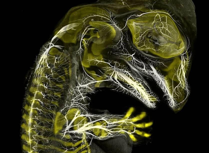 """<span style=""""font-weight:400;"""">Começando o pódio: a medalha de bronze vai para esse incrível embrião de jacaré, com apenas 20 dias de desenvolvimento. O autor está estudando a evolução da anatomia dos vertebrados – e aproveitou pra registrar essa bela imagem usando a técnica de imunofluorescência.</span>"""