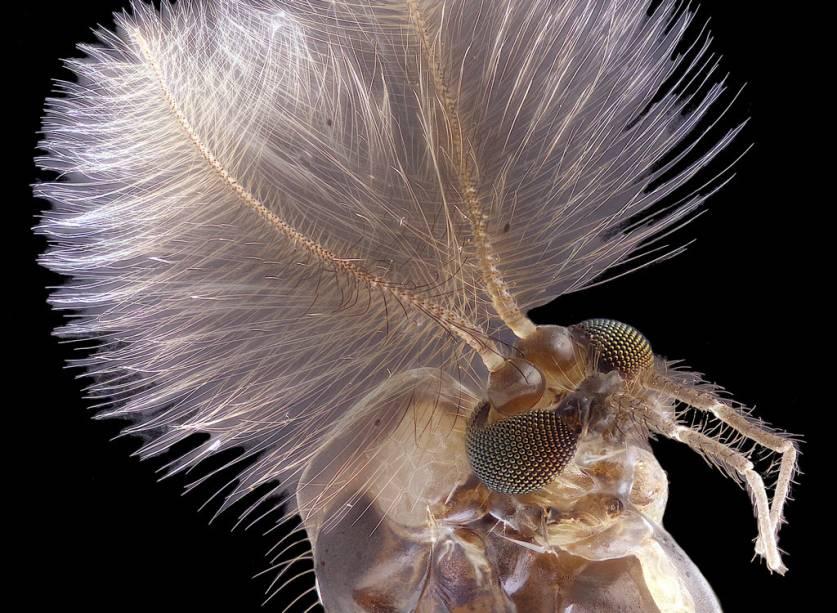 Todo ano aparece um mosquito no top 10, é verdade. Mas o quarto lugar de 2019 retratou um com uma característica peculiar: antenas cheias de pêlos.