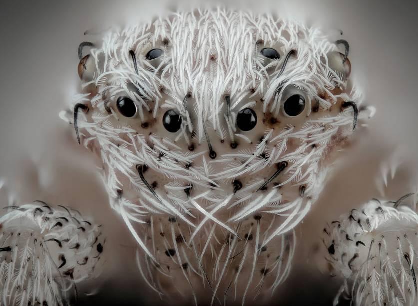 Aranhas peludas são assustadoras por natureza, mas os pelos brancos neste minúsculo aracnídeo mais parecem um casaco de pele. Outro destaque deste sexto lugar que salta aos olhos (rs) é o contraste do branco com os vários pares de olhos negros.