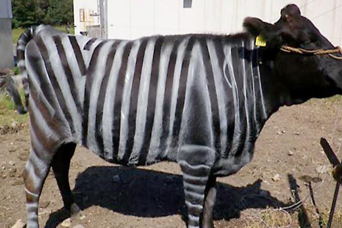 Vaca Zebrada