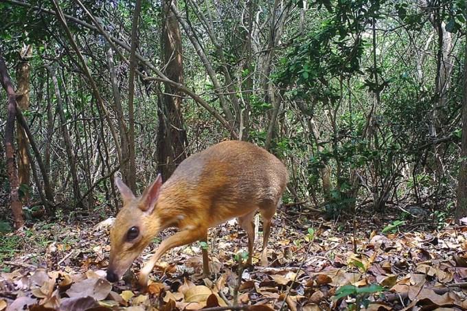 cervo-rato