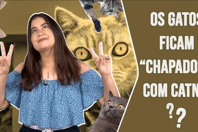 """Os gatos ficam """"chapados"""" com catnip?"""