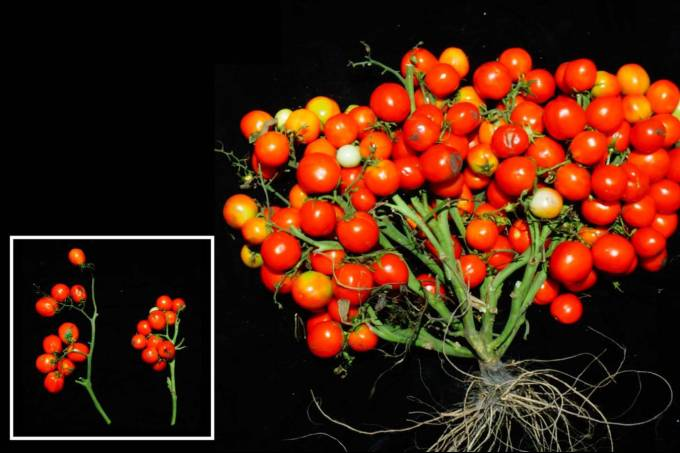reproducao_Lippman lab-CSHL_tomates_geneticamente_modificados_cachos