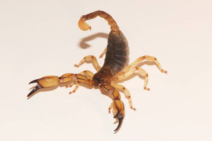 Scorpion found in Riverside, California, identified as Anuroctonus pococki, in the family Iluridae