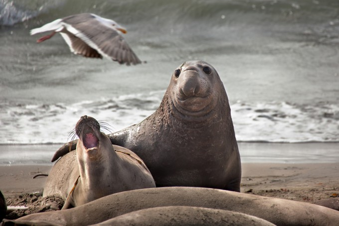 Northern Elephant Seals Mating