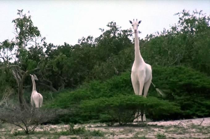 girafas_brancas