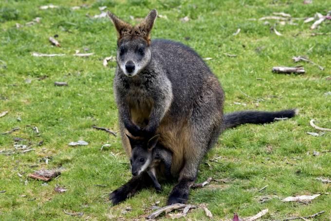 marsupial_engravidar