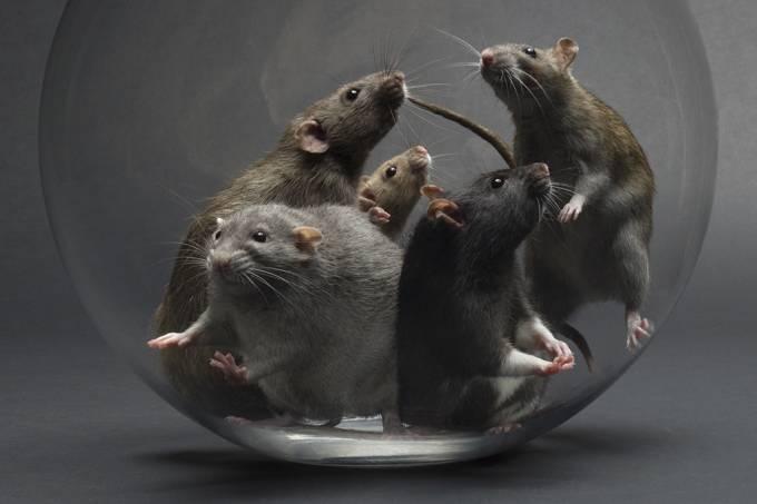 ratos_psicopatia