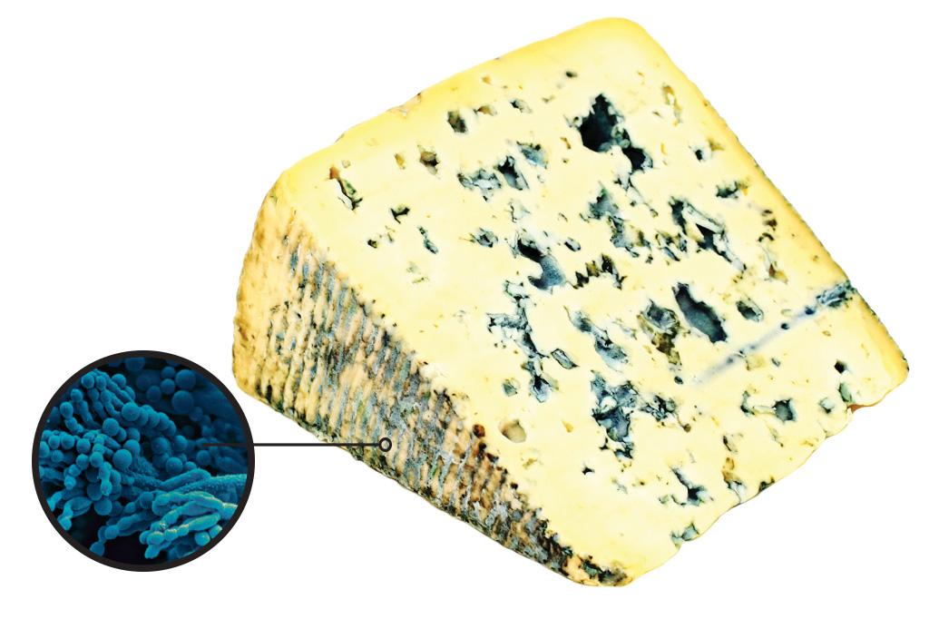 <strong>Penicillium roqueforti – Um dos múltiplos fungos usados na fabricação de queijos mora nos veios azulados do roquefort, do gorgonzola, do stilton e de outras delícias emboloradas.</strong>