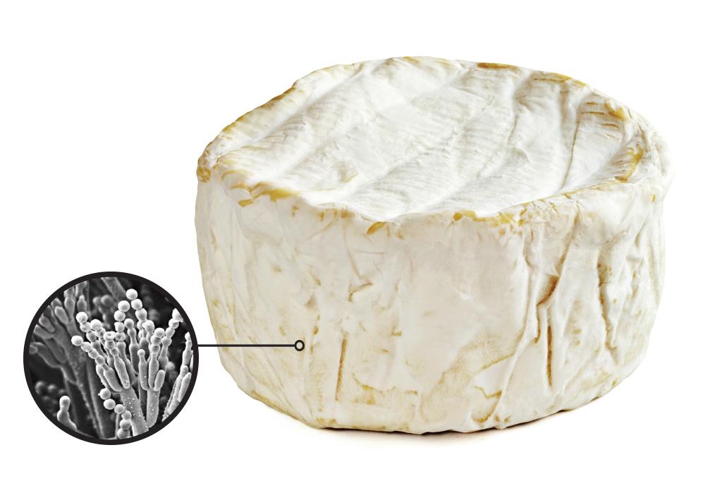 <strong>Penicillium camemberti – Este fungo está presente na casca que recobre queijos como o camembert e o brie – os chamados queijos de mofo branco, cremosos e com sabor intenso.</strong>