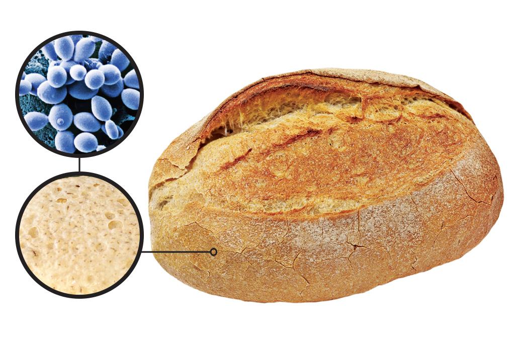 <strong>Saccharomyces cerevisiae – É a principal levedura (fungo) usada em pães e vinhos. Nas cervejas, atua nas bebidas do tipo ale: as lagers são fermentadas com o Saccharomyces pastorianus.</strong>