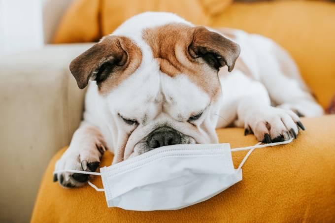 Cientistas querem testar cães para saber se eles conseguem detectar a Covid-19 pelo cheiro