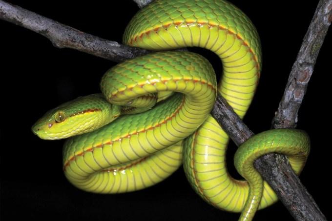 Nova espécie de cobra é batizada em homenagem a Salazar Sonserina
