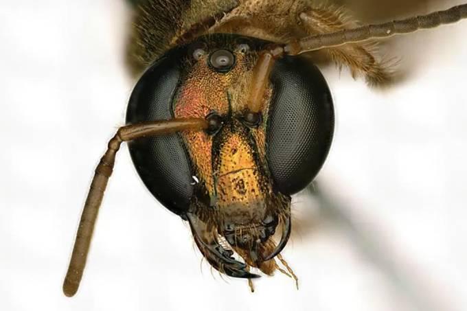Esta abelha é metade macho e metade fêmea – e está dividida bem no meio