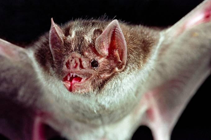 Cientistas encontraram sete novos coronavírus em morcegos na África