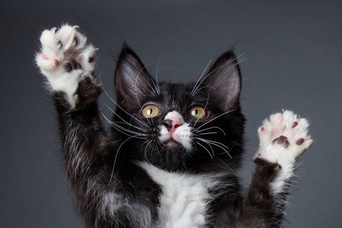 Arquivo | Gatos que têm garras cortadas são mais agressivos e desobedientes [opção 1]