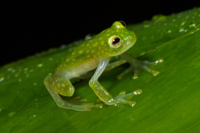 SI_Glass_Frog_1