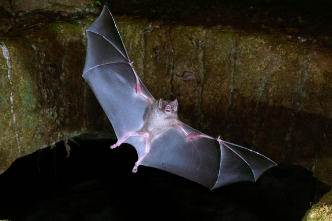 SI_Morcego