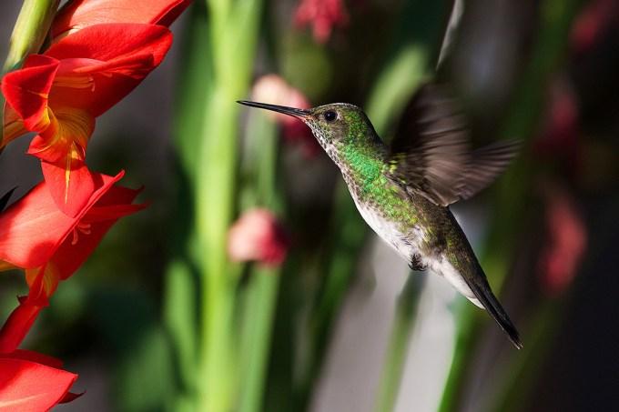 Beija-flores conseguem ver mais cores do que nós, revela estudo