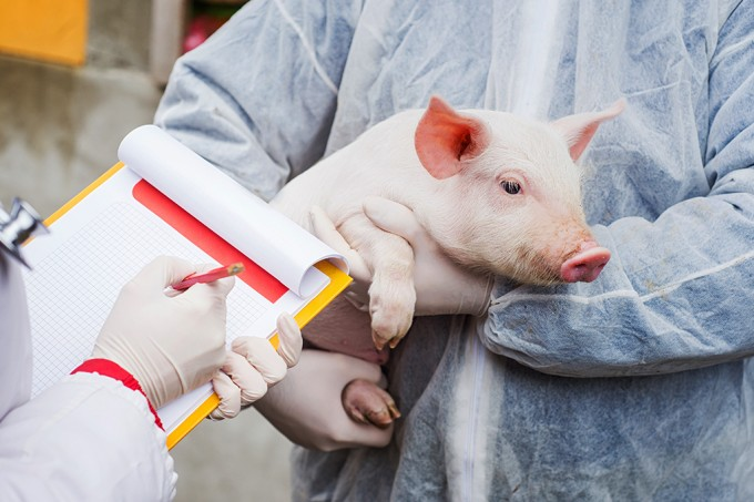 Quais os perigos do novo vírus de gripe suína encontrado na China