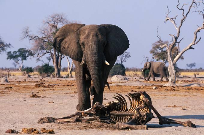 Centenas de elefantes foram encontrados mortos em Botswana – mas ainda não se sabe o por quê