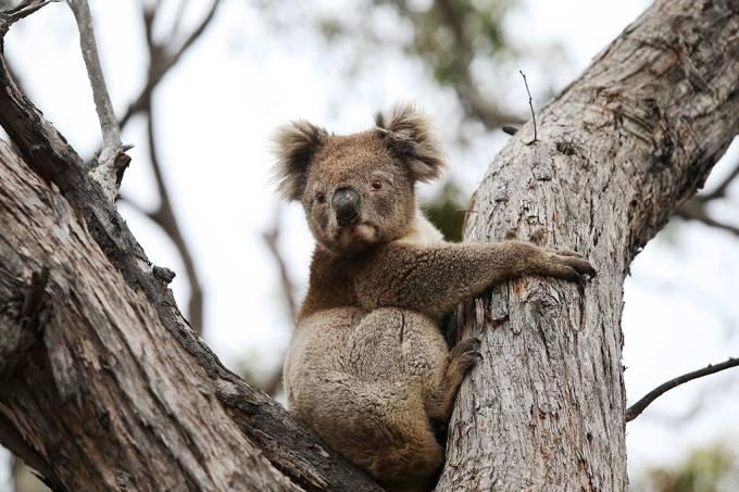 Incêndios na Austrália afetaram cerca de 3 bilhões de animais, dizem cientistas