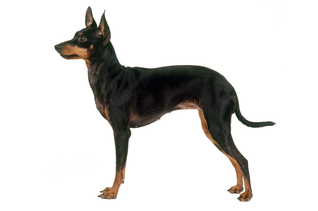 <strong>Problema com ratos? Chame o toy terrier.</strong>