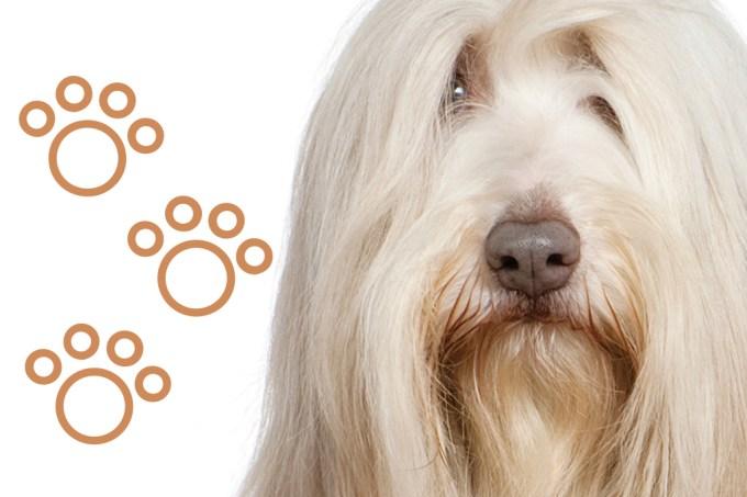 SI_101_cachorros_peludos