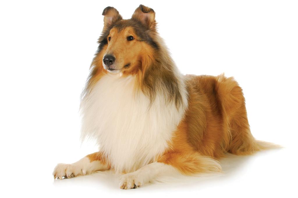 <strong>Lassie, a collie mais famosa do cinema, era um macho na verdade.</strong>