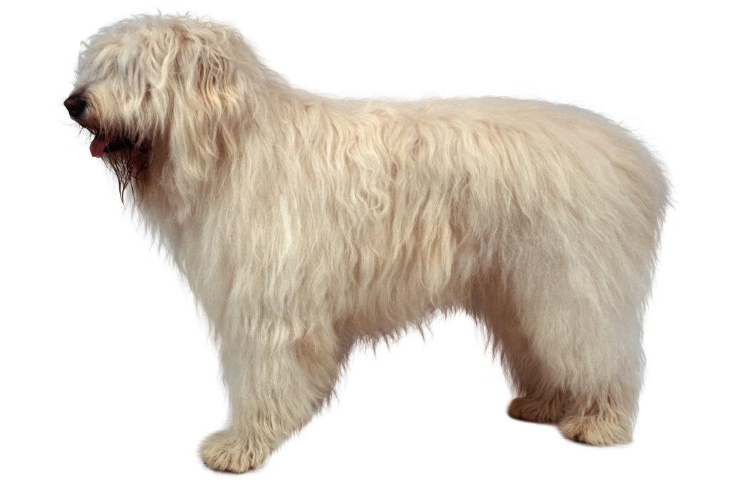 <strong>A cara de bobão esconde um baita cão de guarda que pode pesar 75 kg.</strong>