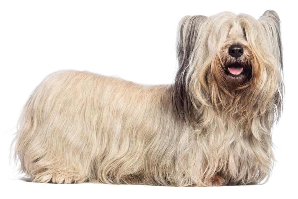 <strong>Fidelidade canina é pouco para o skye terrier.</strong>