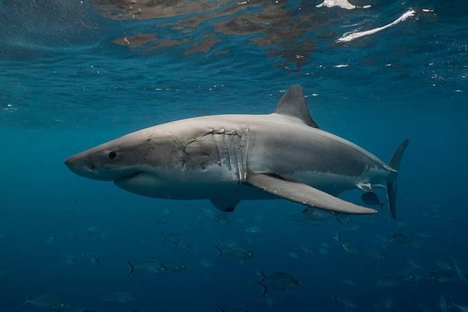 Tubarões branco voltam a habitar costa leste dos EUA – e isso é uma boa notícia