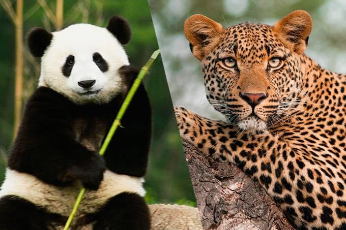 Esforços para salvar pandas deram certo, mas prejudicaram leopardos na China