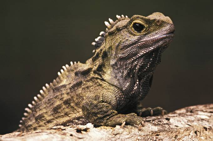 Sequenciamento do genoma de tuatara revela um animal extremamente único