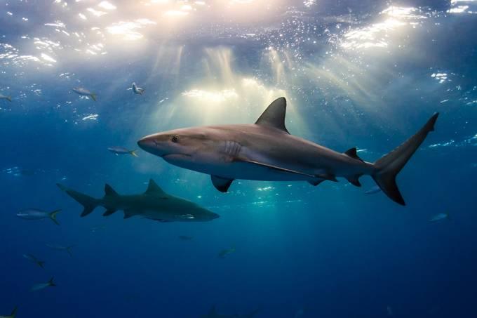 Tubarões também fazem amigos, revela estudo