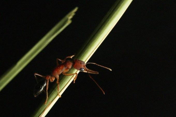 Ascensão: essa espécie de formigas pode passar do status de operária para rainha