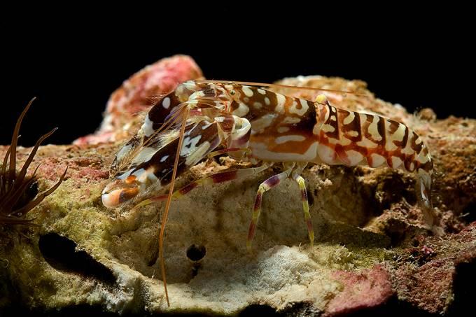 Superlidas | camarão com pistola sônica