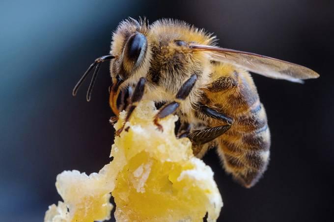 Veneno de abelha destrói células de câncer em laboratório