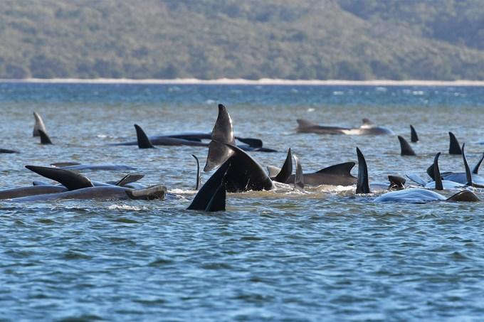 Encalhamento em massa de baleias na Tasmânia pode ser um dos piores da história