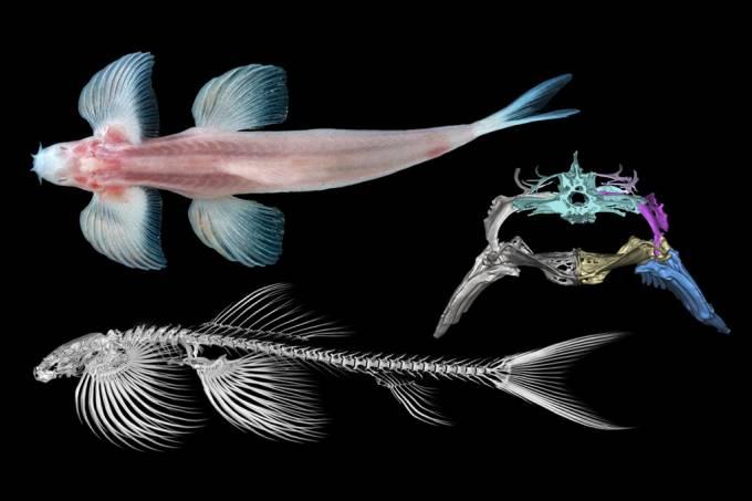 Estudo sugere que dez espécies de peixe podem ser capazes de andar